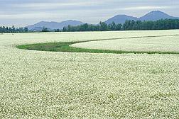 meadow_foam005.jpg